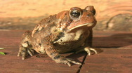 American toad. Stock Footage