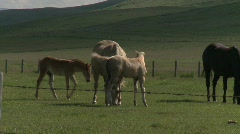 Horse and colts, #4 Stock Footage