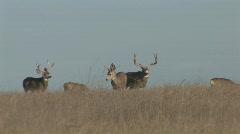 P00533 Trophy Mule Deer Bucks on Prairie Stock Footage