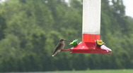 Stock Video Footage of Hummingbird Scared by Ant