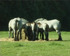 Flemish Brabant breeders in the meadow Stock Footage