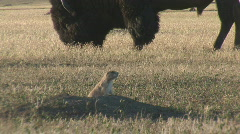 P00541 Black-tailed Prairie Dog and Bison Stock Footage