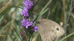 P00545 Buckeye Butterfly on Liatris Stock Footage
