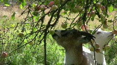 Goat try to eat apple Stock Footage