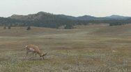 Stock Video Footage of P00557 Antelope Buck on Prairie