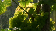 Grapes against the light Stock Footage