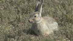 P00558 Cottontail Rabbit on Prairie Stock Footage