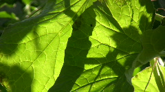 Leaf  against the light Stock Footage