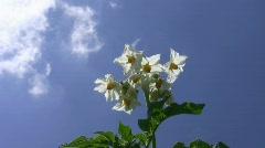 Potato flowering. Stock Footage