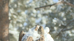 P00540 Chickadee and Siskin in Slow Motion Stock Footage