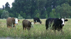 Cows come back home. Stock Footage
