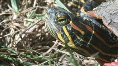 P00564 Closeup of Painted Turtle Stock Footage