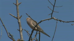 P00568 Morning Dove on Tree Branch Stock Footage