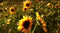 (1117B) Summer Sunflowers in Afternoon Sunset Footage