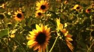 Stock Video Footage of (1117B) Summer Sunflowers in Afternoon Sunset