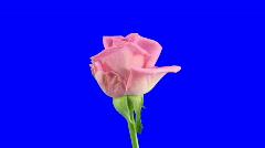 "Time-lapse of opening ""Aqua"" rose 5 with blue chroma key Stock Footage"