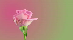 """Time-lapse of opening """"Aqua"""" rose 5a on pink background Stock Footage"""