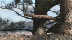 P00571 Pine Siskins Feeding Stock Footage
