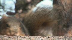 P00572 Fox Squirrel Feeding Closeup Stock Footage