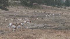 P00573 Pronghorn Antelope Herd Stock Footage