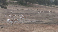 Stock Video Footage of P00573 Pronghorn Antelope Herd