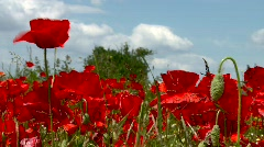 Poppy in the wind Stock Footage