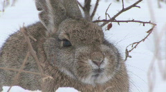P00575 Closeup of Cottontail Rabbit in Snow - stock footage