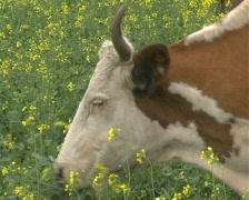 Cow 2 P Stock Footage