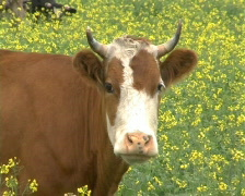 Cow 5 P Stock Footage