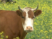 Stock Video Footage of Cow 5 P