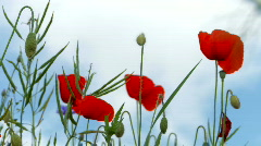 Close up of poppy Stock Footage