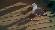 Stock Video Footage of db seagull eating a sea urchin