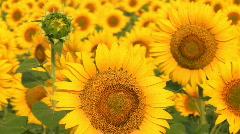 Sunflower crop Stock Footage