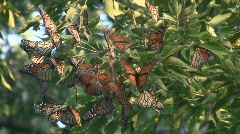Monarch Butterfly Migration Cluster Stock Footage