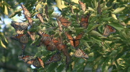 Stock Video Footage of Monarch Butterfly Migration Cluster