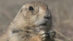 P00578 Black-tailed Prairie Dog Feeding Closeup Stock Footage