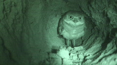 P00579 Burrowing Owl Underground Infrared Stock Footage