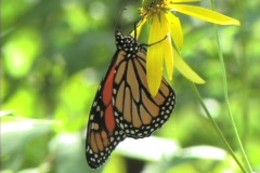 Monarch butterfly (Danaus plexippus) on a yellow daisy 2 Stock Footage