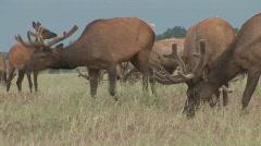 P00582 Elk Bulls in Summer Stock Footage