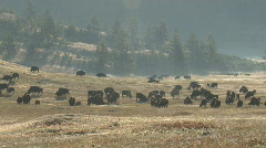 P00585 Bison Herd at Dawn Stock Footage