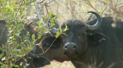 Buffalo Chewing Stock Footage