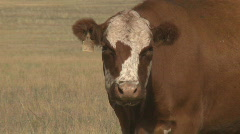 P00588 Hereford Cattle on Great Plains Stock Footage