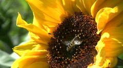 Syrphid landing on a sunflower Stock Footage
