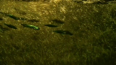 Migrating fishes Stock Footage