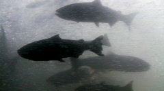 Salmon passing through fish ladder Stock Footage
