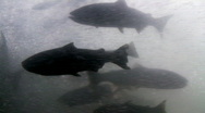 Stock Video Footage of salmon passing through fish ladder