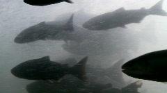 Salmon passing through fish ladder Stock Footage