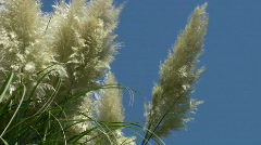 Landscape with beautiful reed in the wind - stock footage