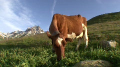 Cow Grazing 2 Stock Footage