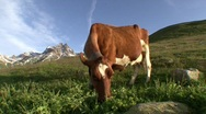 Stock Video Footage of Cow Grazing 2